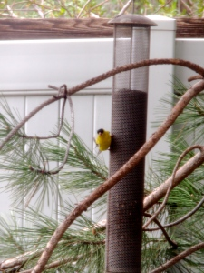 Goldfinch enjoying nyger seed at our backyard feeder.